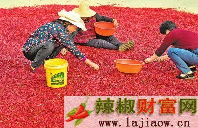 【河南好项目-图片】【 移动端-焦点图】红辣椒丰收了