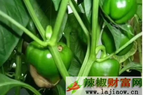 辣椒脐腐病的防治方法