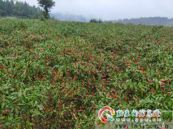 贵州镇远县四项措施促进辣椒产业发展