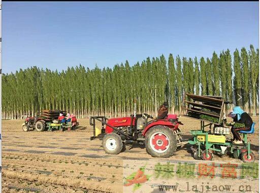 新疆和静县铁板椒移栽开始了