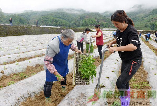 凤冈县大田移栽达17万亩