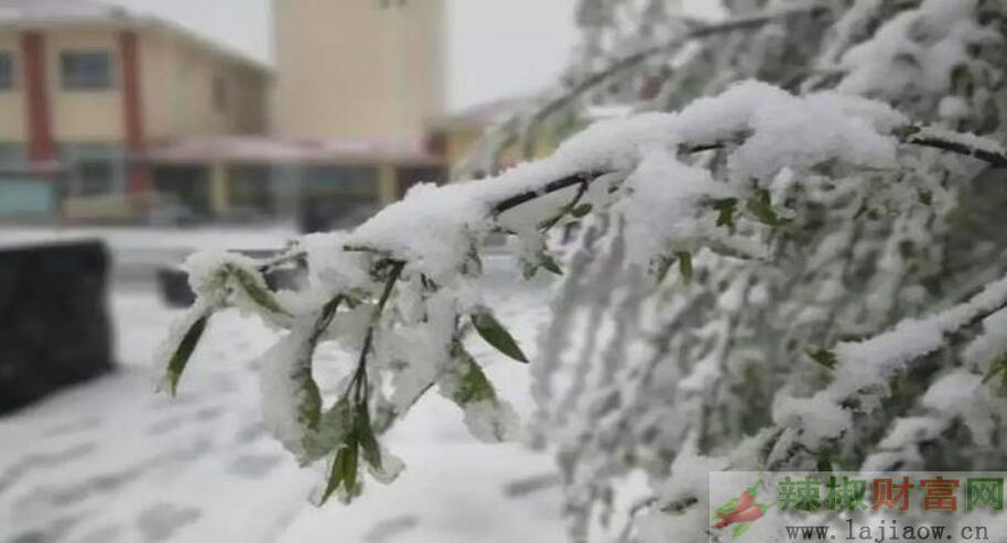 山西降雪对辣椒苗定植返青有何影响?