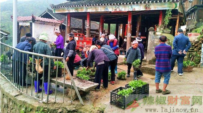 贵州黎平县免费发放辣椒苗促进群众脱贫增收