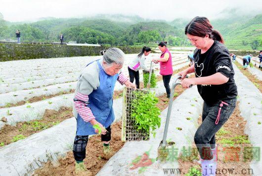 贵州凤冈县17万亩辣椒完成移栽