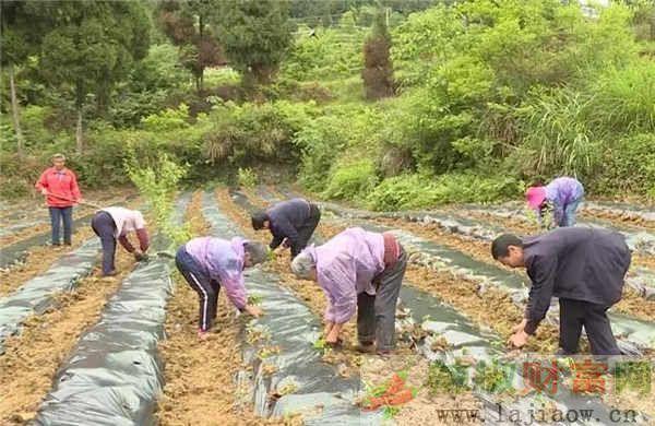习水县辣椒高粱麻羊促进扶贫增收
