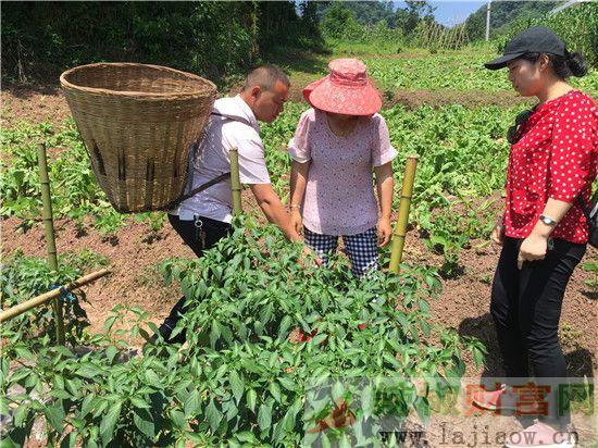 四川雅安积极发展辣椒种植