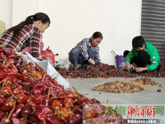 遵义辣椒产业成为全国价格风向标