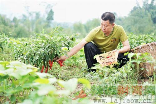 蟠龙乡订单辣椒促进村民增收