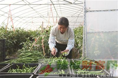黔西县企业+农户促进辣椒产业快速发展