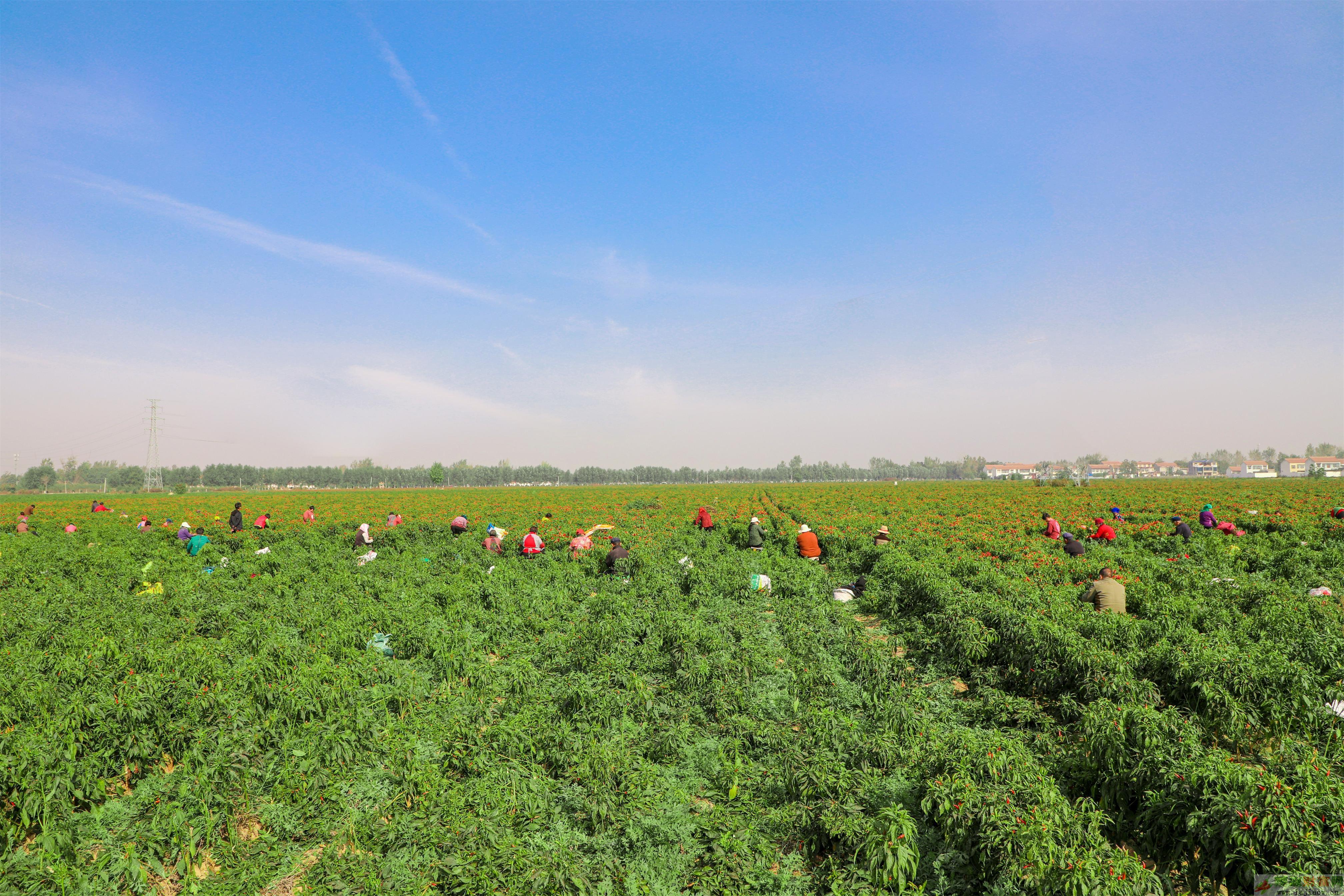 柘城辣椒入选中国农业品牌名录