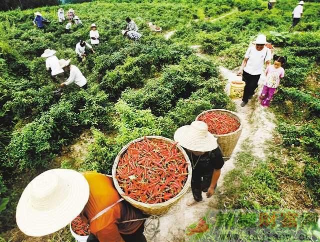 石柱红辣椒产业促进县域经济蓬勃发展