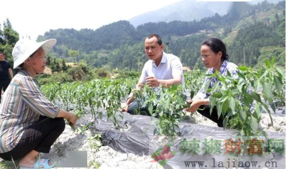 农技下乡指导辣椒种植