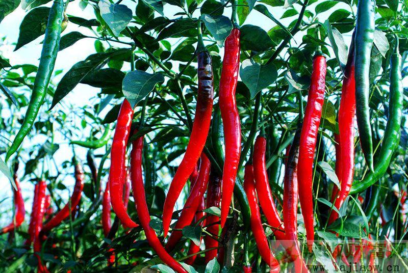 贵州辣椒产业绿色高质量发展 产加销规模全国第一