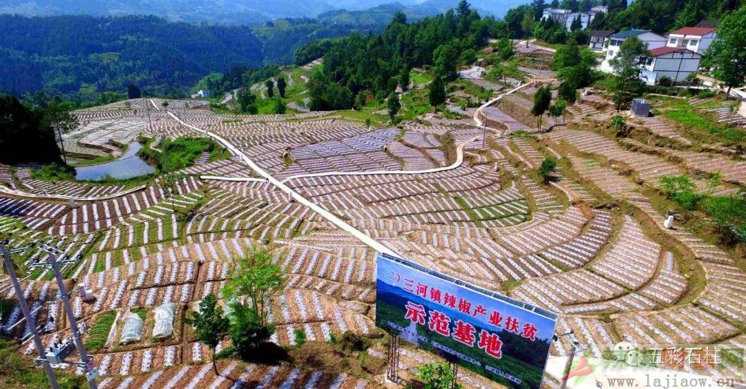石柱县种植辣椒10万亩